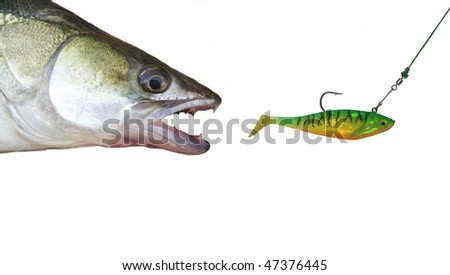 zander in chase for artificial bait - stock photo