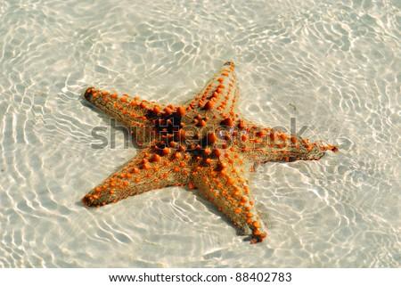 "Zanzibar, Tanzania starfish or sea stars are echinoderms belonging to the class Asteroidea. The names ""starfish"" and ""sea star"" essentially refer to members of the class Asteroidea. - stock photo"