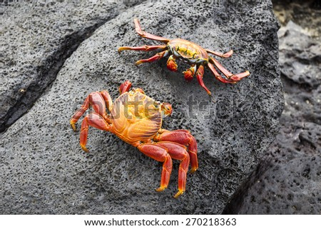 Zayapas crabs abound on the rocks of the Galapagos Islands - stock photo