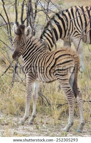 Zebra - African Wildlife Background - Baby Animals from Nature - stock photo