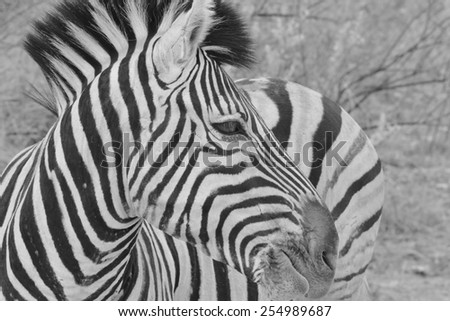 Zebra - African Wildlife Background - Nature's Patterns of Texture and Color - stock photo