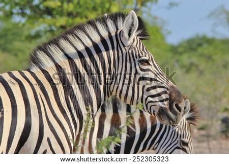 Zebra - African Wildlife Background - Pose of Stripes and Portrait of Freedom - stock photo