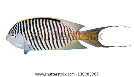 Zebra angelfish (Genicanthus caudovittatus) isolated on white background. - stock photo