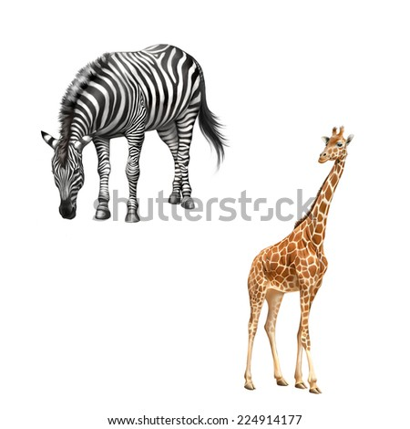 zebra bent down eating grass, Beautiful adult Giraffe looking at us, illustration isolated on white background - stock photo