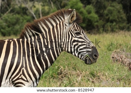 zebra chewing some grass early in the morning - stock photo