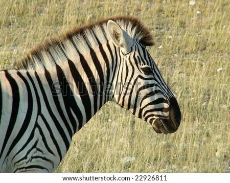 Zebra closeup - stock photo