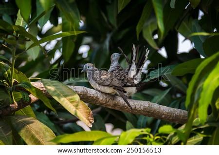Zebra dove breening on the branch - stock photo