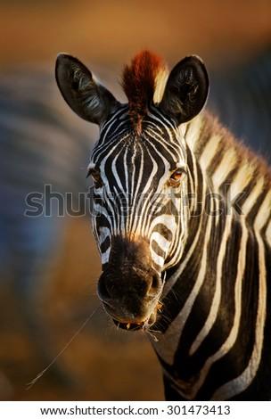 Zebra (Equus burchell's) portrait close-up - Kruger National park (South Africa) - stock photo