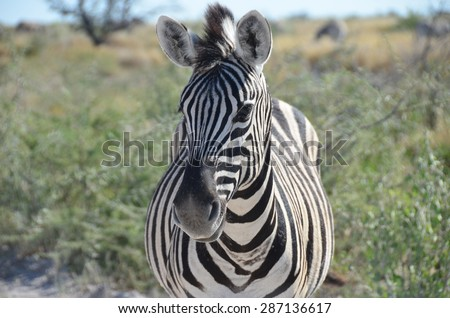 Zebra, Etosha National Park, Namibia - stock photo