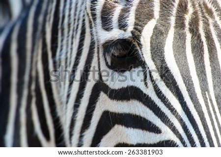 Zebra eye - stock photo