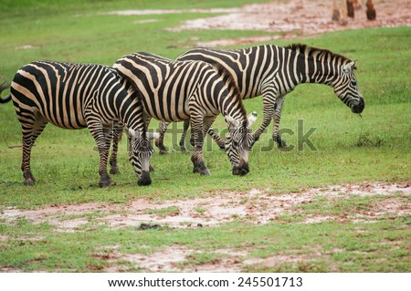 Zebra family group in grassland - stock photo