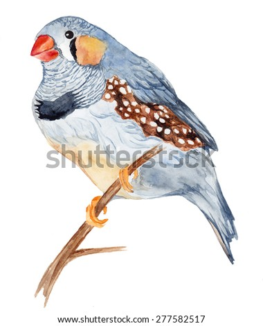 Zebra Finch, isolated on white background. . Watercolor illustration. - stock photo