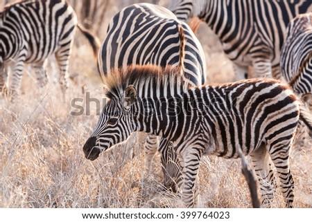 Zebra foal in the Okavango Delta, Botswana - stock photo