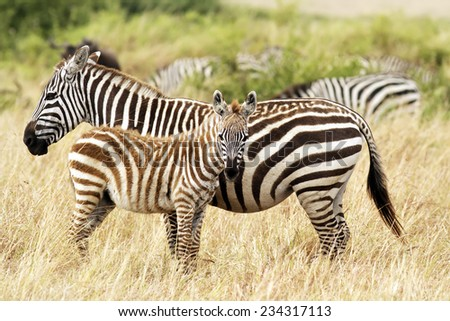 Zebra foal with mother on the Masai Mara in southwestern Kenya. - stock photo