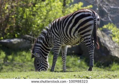 Zebra Grazing - stock photo