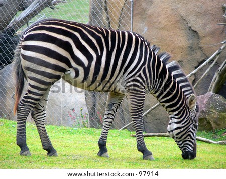 Zebra grazing at the San Francisco Zoo. - stock photo