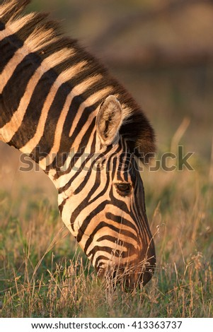 Zebra grazing in bright sunset. Kruger National Park, South Africa. - stock photo