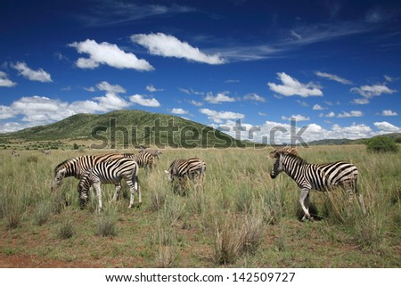 zebra herbivorous mammal of the African savannah zebras live in numerous flocks on the plains south africa kruger national park - stock photo