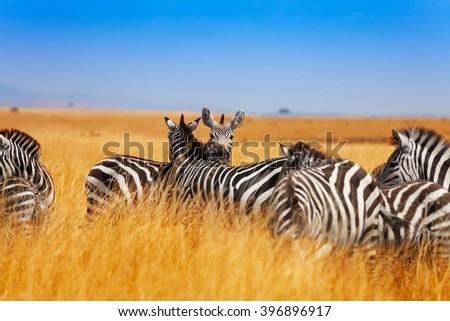Zebra herd on the grasslands of Kenya, Africa - stock photo