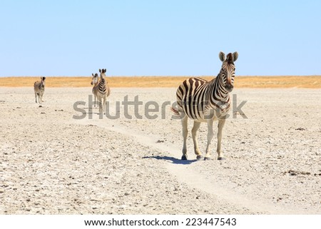 Zebra in Botswana kalahari  - stock photo