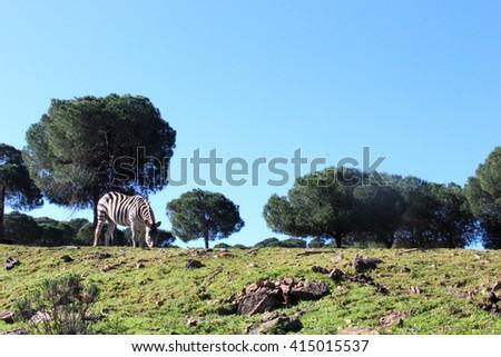 Zebra in field - stock photo