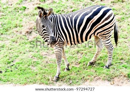 Zebra in Kaokaew Zoo. - stock photo