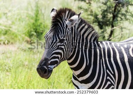 Zebra in Pilanesberg state park, South Africa - stock photo