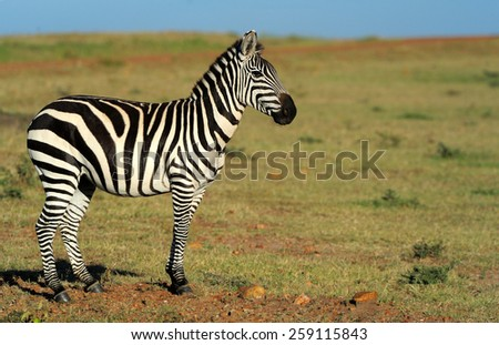 Zebra in the grasslands of the National Park. Africa, Kenya - stock photo