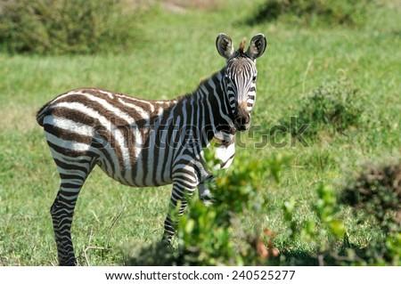Zebra in the National Reserve of Africa, Kenya - stock photo
