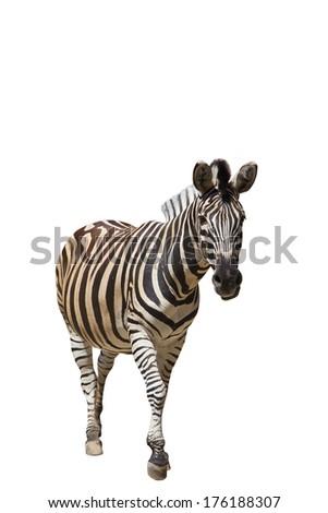 zebra isolated on white background  - stock photo