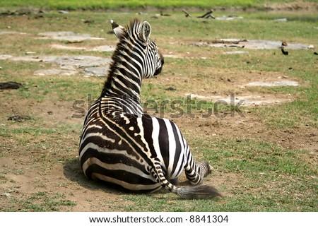 Zebra laying down - stock photo
