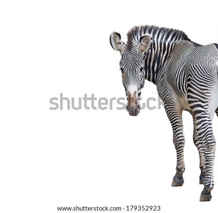 Zebra Looking Isolated on a White Background - stock photo