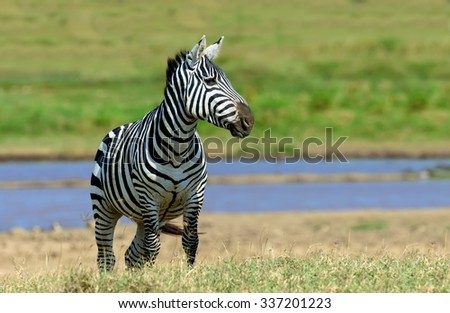 Zebra near the water in Africa, National park of Kenya - stock photo