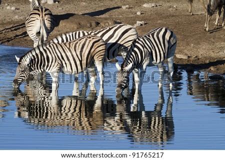Zebra on water hole - stock photo