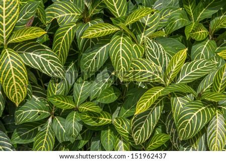 Zebra plant,MARANTACEAE,Synsepalum dulicificum Daniell ea S. Bell �¢??Humilior�¢?? - stock photo