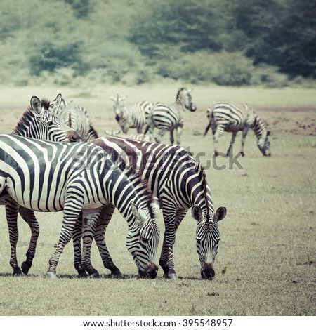 Zebra portrait on African savanna. Safari in Serengeti, Tanzania  - stock photo