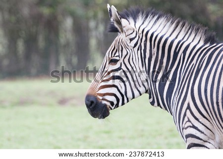 Zebra portrait showing it's distinctive black and white coat - stock photo