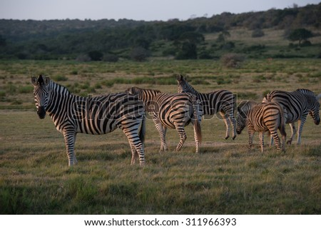 Zebra posing for the camera - stock photo