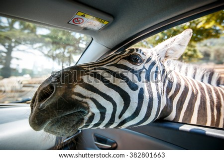 Zebra put his head in car and waiting food from tourist in safari park - stock photo