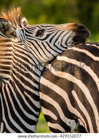 Zebra resting it's head - stock photo