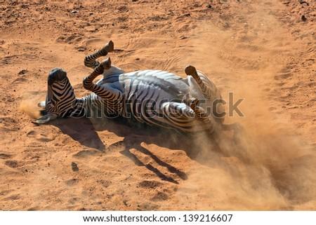Zebra rolling in the dust. - stock photo