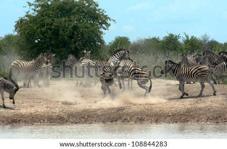 Zebra Scrummage. Two zebras fighting for rank alongside a water hole in Nxai Pan National Park in Botswana. Africa. - stock photo