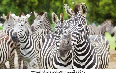 Zebra, Serengeti National Park, Tanzania, East Africa - stock photo