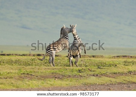 Zebra stallions fighting in Ngorongoro Crater in Tanzania, Africa - stock photo