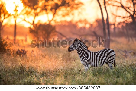 Zebra standing alert in the early morning light in Khwai in Botswana - stock photo