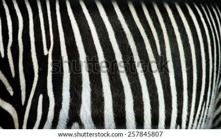 Zebra stripes texture - stock photo