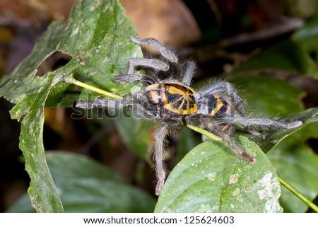 Zebra tarantula (Hapalopus sp.) in the rainforest understory, Ecuador - stock photo