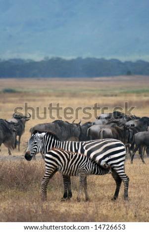 Zebra & Wildebeest - stock photo
