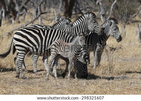 Zebra wildlife - stock photo