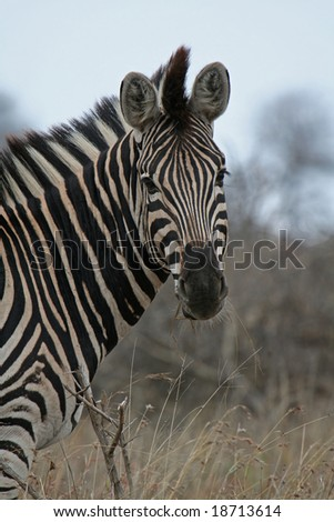 Zebra, wildlife, South Africa - stock photo